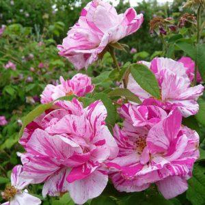 Rosa Mundi